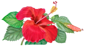 hibiscus_F2